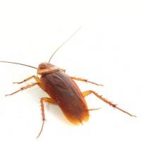 disinfestazione-blatte-scarafaggi